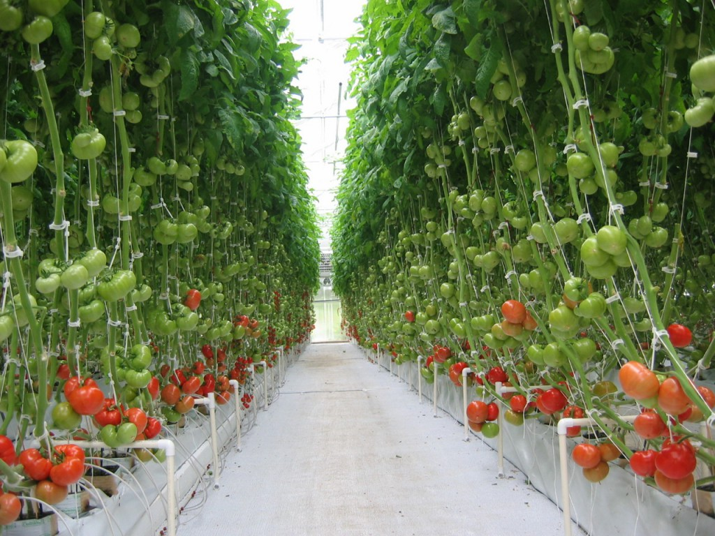 Проект по выращиванию помидоров 205